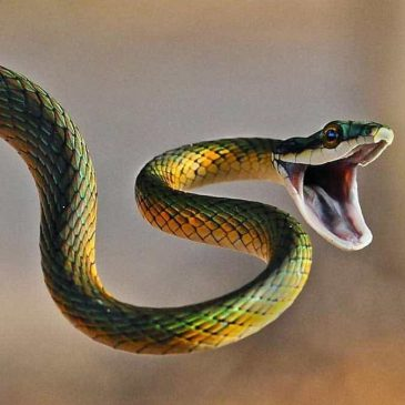 Venomous snakes and first aid in case of bites